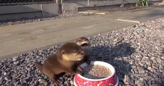 Baby-ottertjes-eten