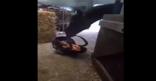 Paard-reactie-op-baby