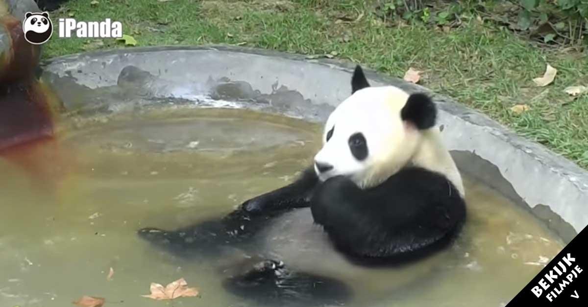 Deze panda moet in bad kijk eens hoe uitgebreid hij de tijd neemt - Hoe hij zijn teen ruimte organiseren ...