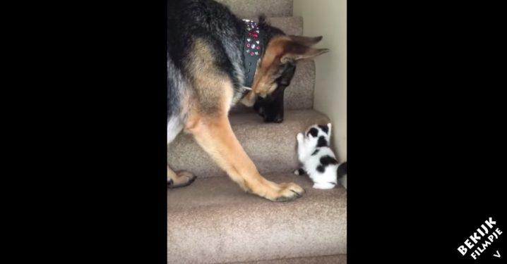 Hond-neemt-kitten-mee-in-bek-trap-op