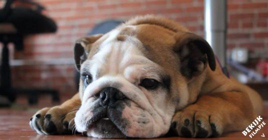bulldog-geluidjes