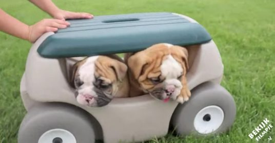 schattige-bulldog-pups