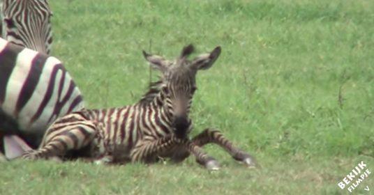 zebra-geboorte