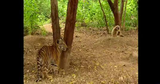 aap-tijgers
