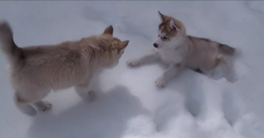 husky-sneeuw